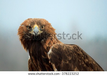 The golden eagle (Aquila chrysaetos) is one of the best-known birds of prey in the Northern Hemisphere. - stock photo