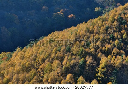 The golden Japanese larch which rises for light - stock photo