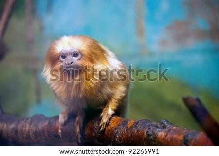 The golden lion tamarin (Leontopithecus rosalia) - stock photo
