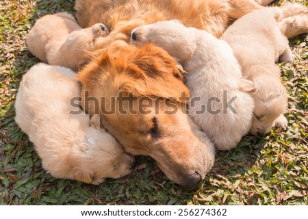 The Golden puppy is sleeping in his mother's side in the sunshine. - stock photo