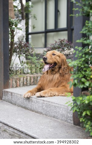 The golden retriever lying on the floor to rest