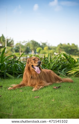 The golden retriever lying on the grass