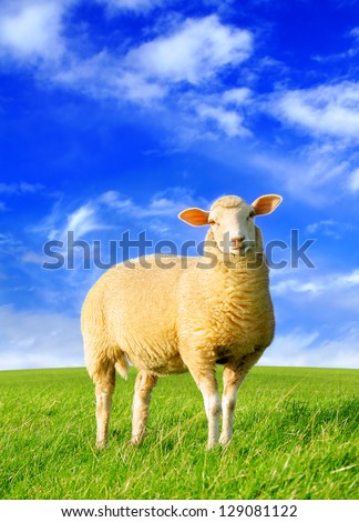 The golden sheep - original digital image processing from my photo - stock photo
