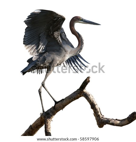 The goliath heron (ardea goliath) is a wading bird of the heron family Ardeidae. It is the world's largest heron and is found in sub-Saharan Africa and South Asia. Isolated to a white background. - stock photo