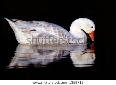 the goose in the water