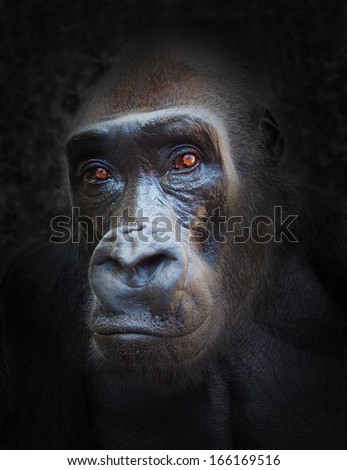 The Gorilla portrait.  - stock photo