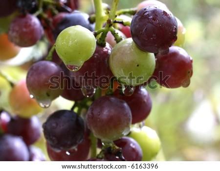 the grape colourful close-up image - stock photo