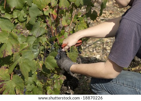The grape is Gamay, and the place where it excels is called Beaujolais, at north of Lyon. - stock photo