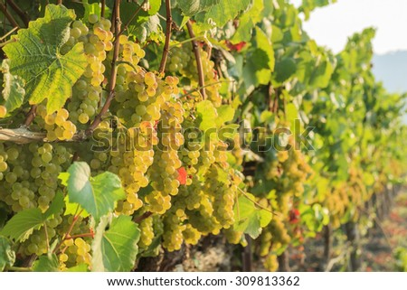 The grapes farm of Napa Valley, sunset time - stock photo