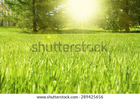 the grass in the park . trees in the background. sun rays and glare - stock photo