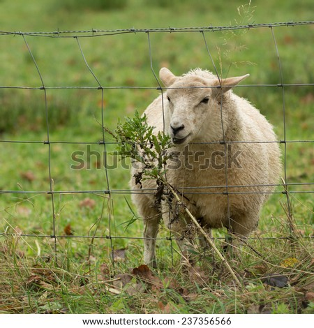 The Grass is always greener on the other side of the fence - woolly sheep trying to eat tasty plant through wire fencing - stock photo