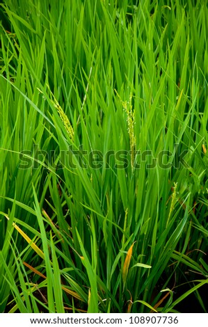 The grass of rice. - stock photo