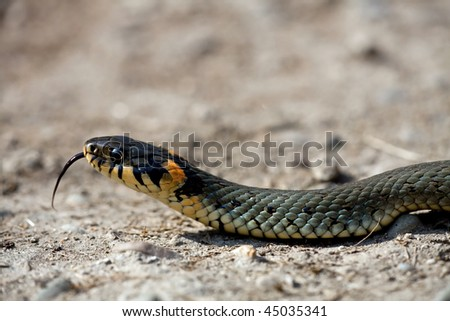 The grass snake (Natrix natrix), is a european non-venomous snake - stock photo