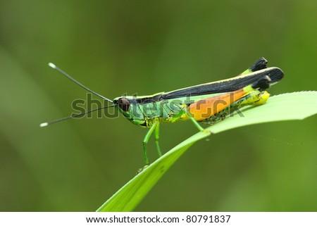 the grasshopper eats the grass - stock photo