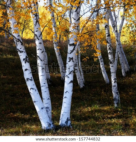 The grasslands of the white birch