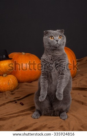 the gray British cat on hind legs and many pumpkins  - stock photo