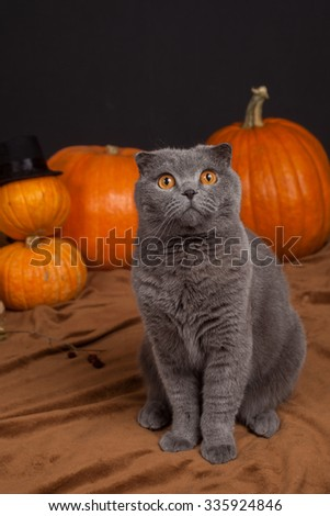the gray British cat on hind legs and many pumpkins