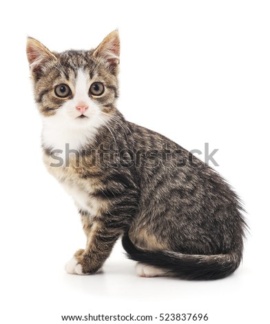 The gray cat isolated on a white background.