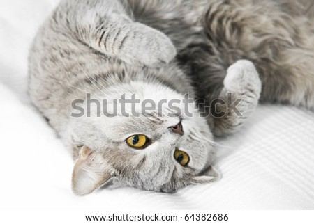 The gray cat relaxes and dreams on a bed - stock photo