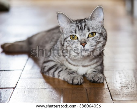 The gray cat sits on a floor