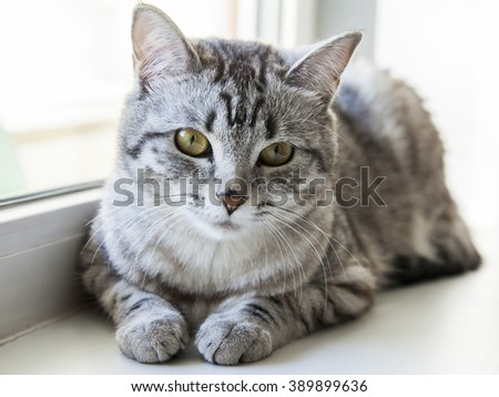 The gray cat sits on a window sill and looks around herself - stock photo