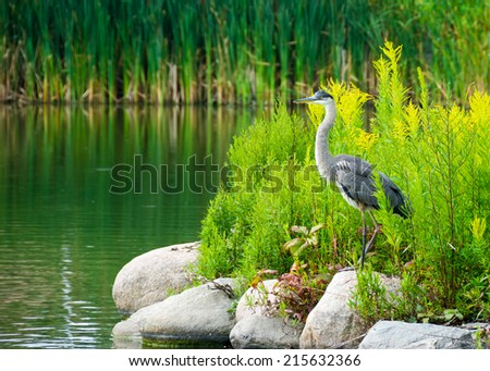The great blue heron (Ardea herodias) is a large wading bird in the heron family Ardeidae, common near the shores of open water and in wetlands over most of North America and Central America  - stock photo