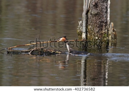 The great crested grebe (Podiceps cristatus) - the construction of the nest. - stock photo