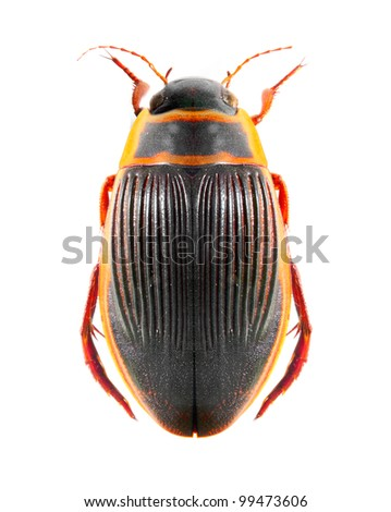 The great diving beetle (Dytiscus marginalis) isolated on a white background. - stock photo