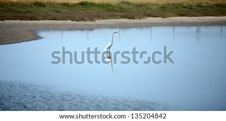 The Great Egret AKA Ardea alba, or Great White Egret, Common Egret, Large Egret or sometimes confused for the Great White Heron looks for fish to eat in a wetlands in Huntington Beach california - stock photo