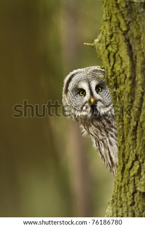 The Great Grey Owl or Lapland Owl, Strix nebulosa - stock photo