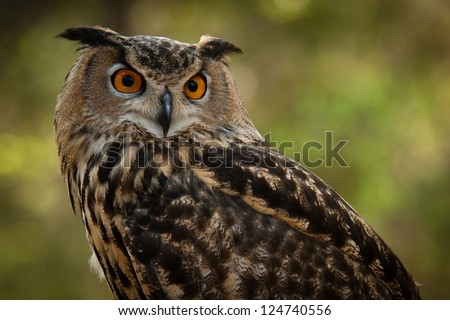 The Great Horned Owl, (Bubo virginianus), also known as the Tiger Owl, is a large owl native to the Americas. It is know as the second heaviest owl, second to the Snowy Owl. - stock photo