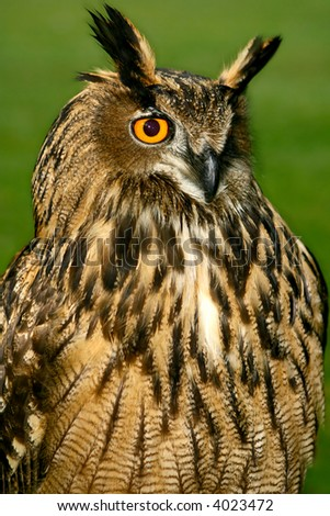The great horned owl, majestically displayed. - stock photo