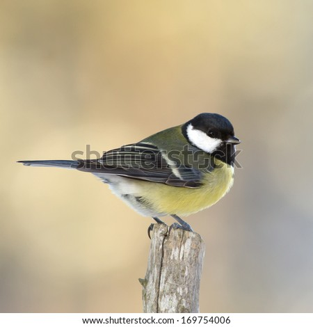 The Great Tit (Parus major) sitting on the top of a pole and looking around in Uppland, Sweden