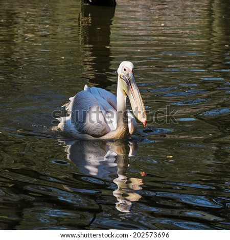 The Great white pelican (Pelecanus onocrotalus) also known as the Eastern white pelican. - stock photo