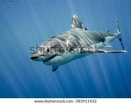 The great white shark in the big blue - stock photo