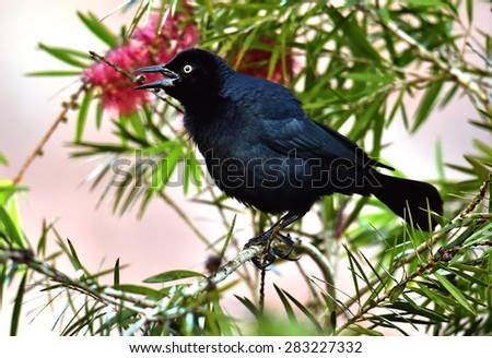 The Greater Antillean grackle (Quiscalus niger) perched on branch at La Boca, Republic of Cuba in March - stock photo