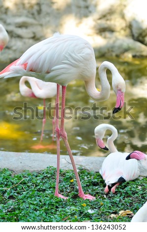 The Greater Flamingo is the most widespread species of the flamingo family. It is found in parts of Africa, southern Asia, and southern Europe. - stock photo
