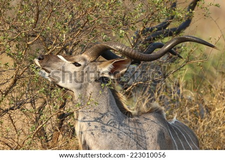 The greater kudu is a woodland antelope found in Africa. Despite occupying widespread territory, they are sparsely populated in most areas, due to a declining habitat, deforestation and poaching.  - stock photo