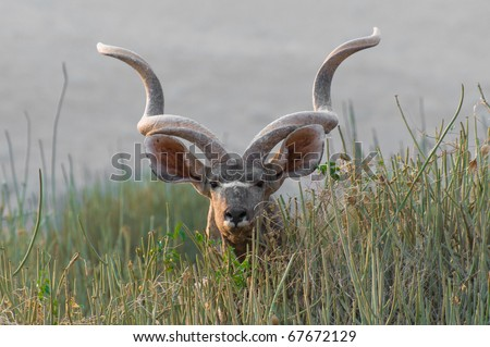 The Greater Kudu (Tragelaphus strepsiceros), a woodland antelope, Namibia, Africa - stock photo
