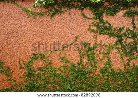 The Green Creeper Plant on a brown Wall - stock photo