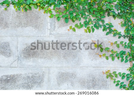 The Green Creeper Plant on a White Wall Beautiful Background - stock photo