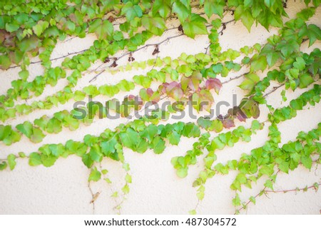 The Green Creeper Plant on wall.