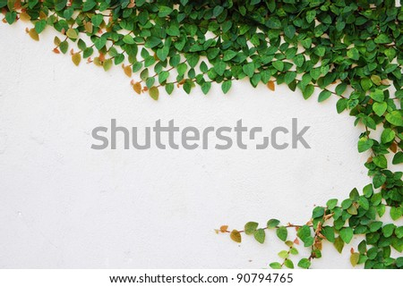 The Green Creeper Plant on wall - stock photo