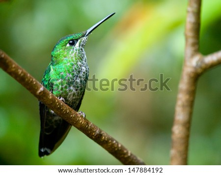 The Green-crowned Brilliant (Heliodoxa jacula) hummingbird in Costa Rica - stock photo