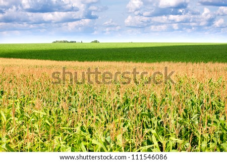 The green field with corn under cloudy sky - stock photo