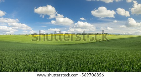 The green fields of young wheat in the field