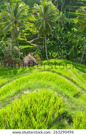 The green fields rice at Tegalang village, Ubud, Bali, Indonesia