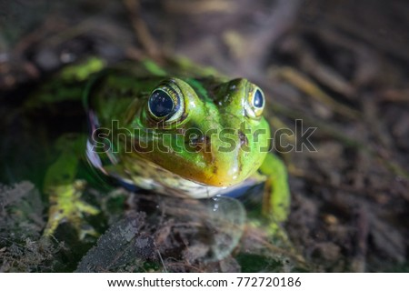 The green frog floats in the pond, macro photography
