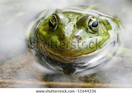 The green frog sitting in a swamp, and smile at us - stock photo