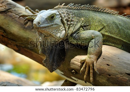 The green iguana ranges over a large geographic area, from southern Brazil and Paraguay to as far north as Mexico and the Caribbean Islands. - stock photo